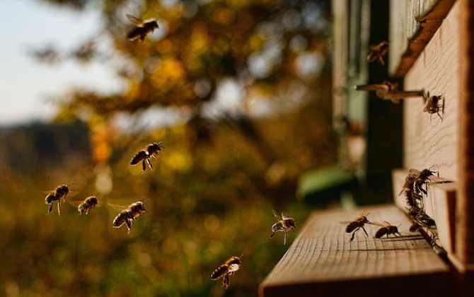 侦察蜂来了多久会来蜂