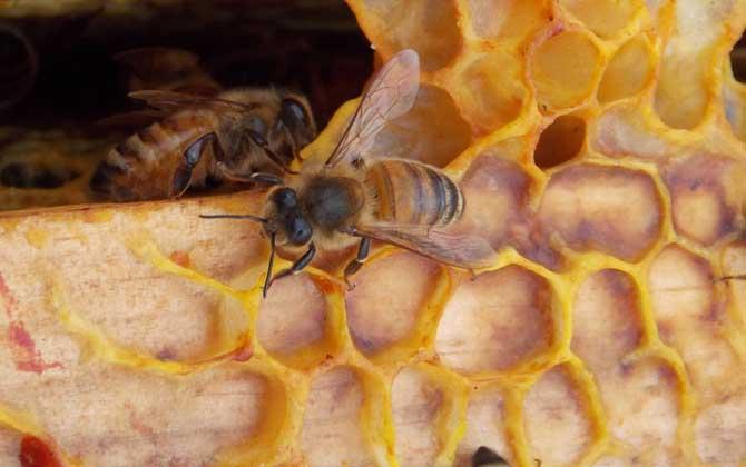 零下五度蜜蜂能越冬吗