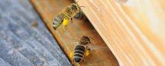 蜜蜂自然分蜂时间(蜜蜂自然分蜂时间是上午还是下午)