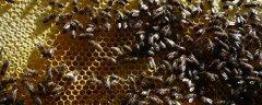 秋后意蜂喂糖时机(蜜蜂秋天几天喂一次糖)