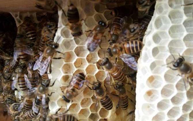 蜜蜂蜂巢多少钱一块