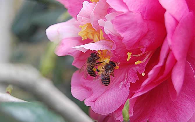 中蜂分蜂会飞多远