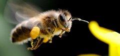东北黑蜂的缺点是什么(东北黑蜂事中蜂还是意蜂)