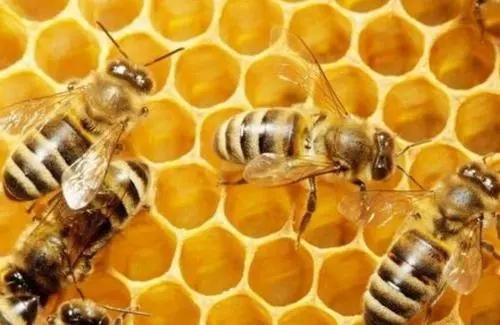 意大利蜜蜂年产蜂蜜多少斤
