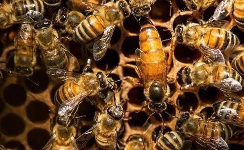 蜂王交尾不成功的主要原因