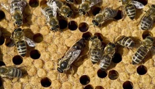 一窝蜜蜂为什么有多个蜂王