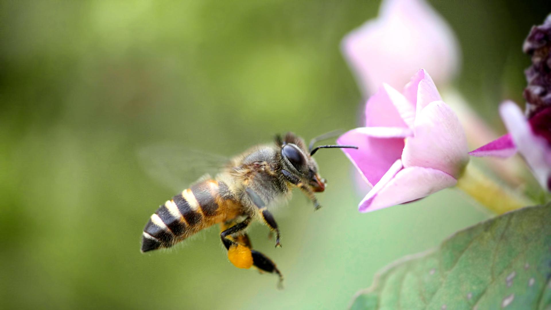 没有王的蜜蜂会是什么样(蜜蜂没有王会不会飞走)