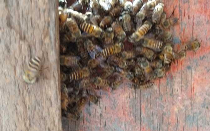 蛋群几十只工蜂如何发展