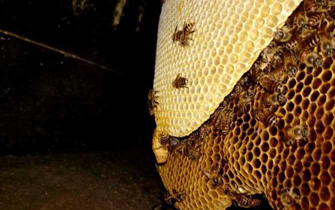 一群蜜蜂建蜂巢脾要多久