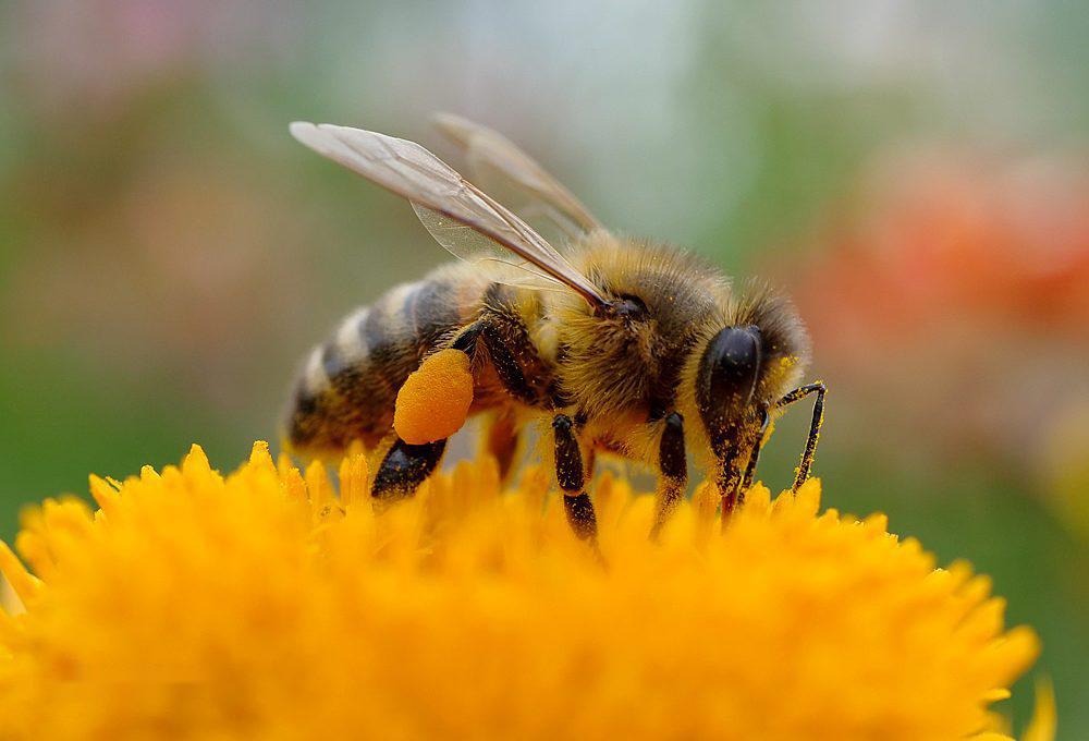 意蜂怕什么颜色(蜜蜂怕什么颜色)