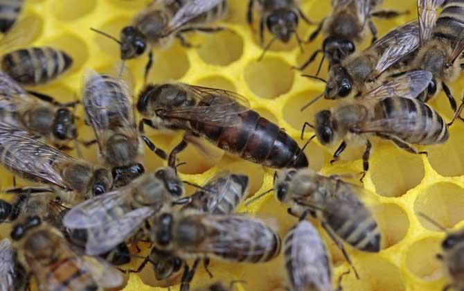 中蜂蜂王一天产卵多少