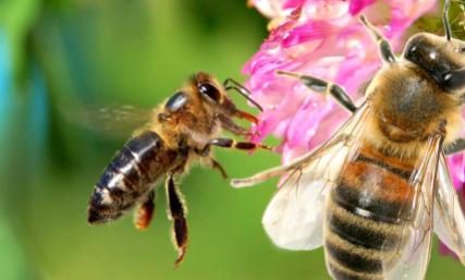 一只蜜蜂一次带回来的蜜能供自己吃几天