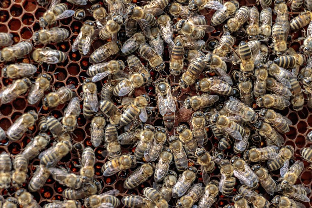 蜂群中有几种蜜蜂(一个蜂群有多少只蜜蜂)