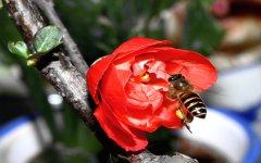 中蜂分蜂会飞多远(蜜蜂分蜂一般会往哪飞)