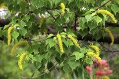 一颗桂花树可养多少蜜蜂(蜜蜂不采桂花树的原因)