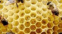 工蜂会不会产卵(工蜂产的卵是什么蜂)