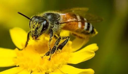 蜜蜂为什么不采茶花蜜