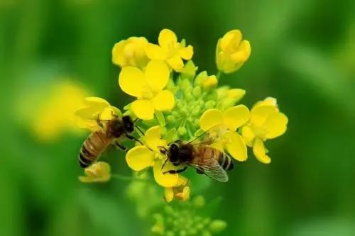 蜜蜂为什么采花粉