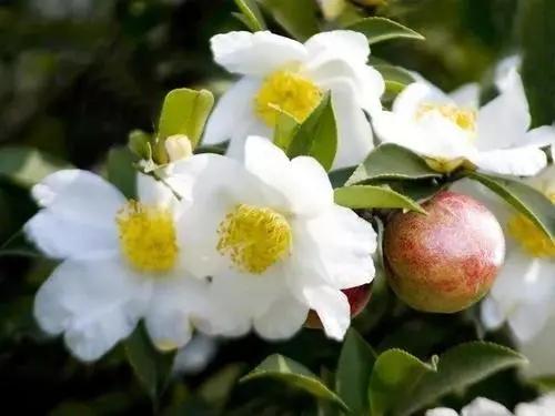 为什么蜜蜂不爱油茶花