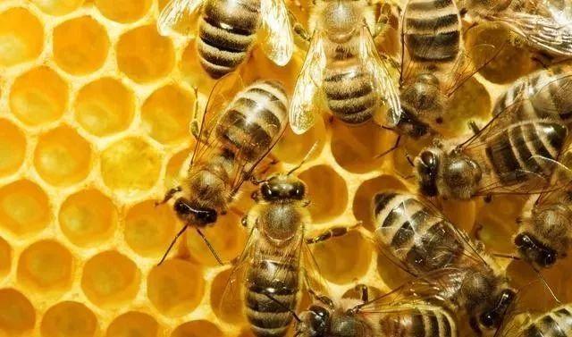 工蜂产卵急造王出台有用吗(工蜂产卵了怎样介王)