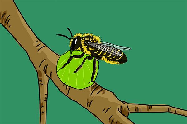 不是所有的蜜蜂都是来采花蜜也许是来切叶的