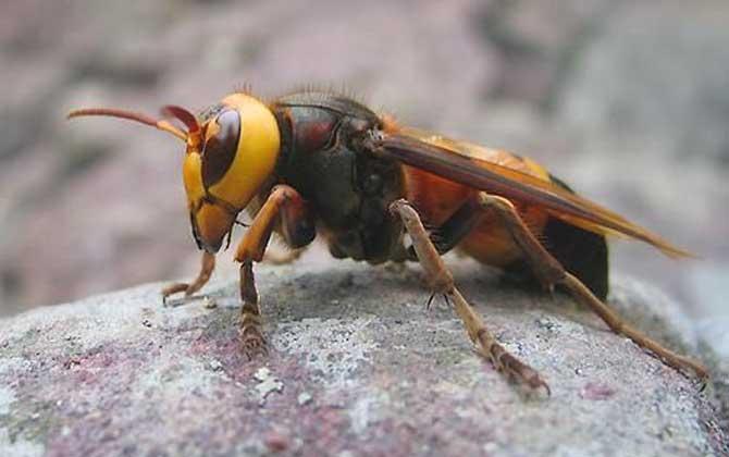 黑尾虎头蜂毒性大吗?
