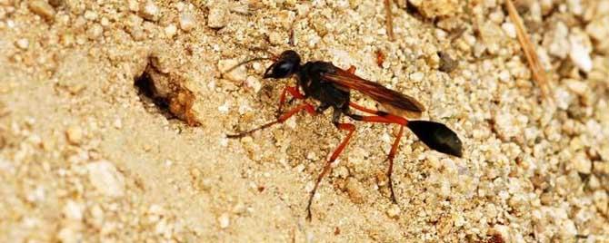 细腰蜂是益虫还是害虫