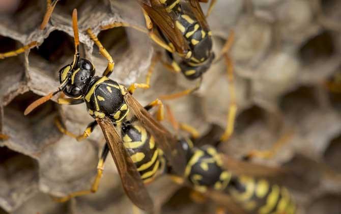 马蜂一般在什么地方筑巢