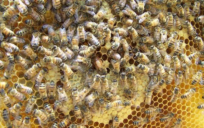 蜂王开始产多少卵