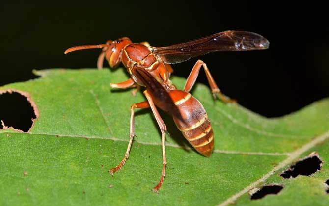 被黄蜂蛰到的多长时间内是危险期