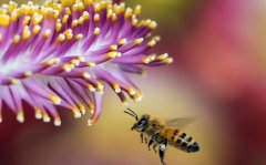 别人养的蜜蜂能不能诱到(附近有人养蜜蜂怎样诱)