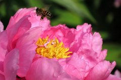 同一群蜜蜂打架的处理方法(同一箱蜜蜂为什么会打架)