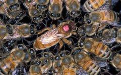 蜂王开始产多少卵(蜂王一天产多少卵)