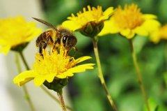怎么养中华蜜蜂(中华蜜蜂的养殖技术)