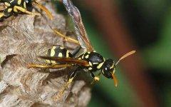 被黄蜂蛰到的多长时间内是危险期(被黄蜂蛰了会有生命危险吗)