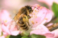 谁控制着蜜蜂(蜜蜂的领导者是什么蜂)