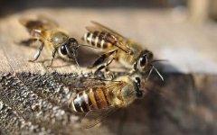 蜜蜂巢门口有几十只死亡蜂是不是中毒(蜂巢门口死了好多蜜蜂)