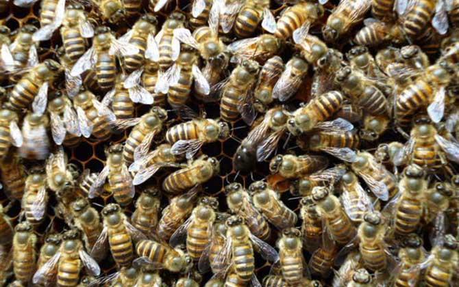 怎么收野蜂回家合群
