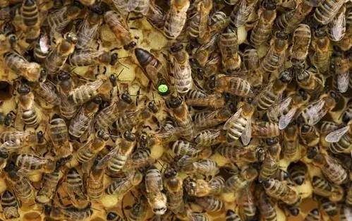 平湖浆蜂意蜂盗性强吗
