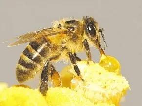 只有蜂王可以产卵吗