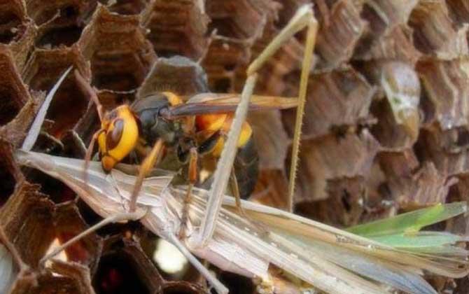 黑尾虎头蜂的针有多长