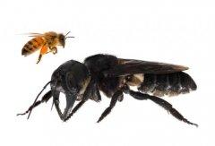 蜜蜂能单独存活吗(一只蜜蜂能养活吗)