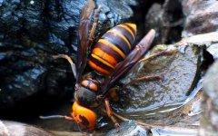 毒蜜蜂有什么特征(有毒蜜蜂种类)