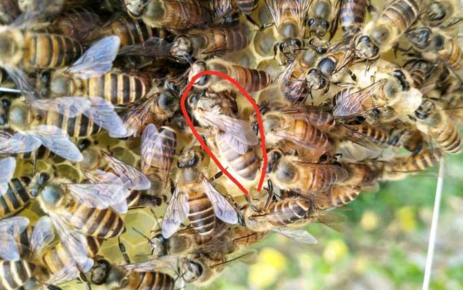 蜂群强群什么意思