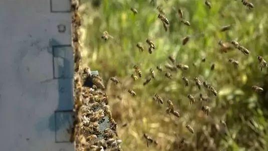 中蜂如何近距离摆放