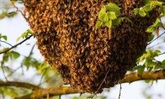 蜜蜂如何分蜂(怎么识别蜜蜂即将分蜂)