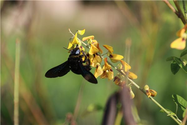 黑竹蜂有毒吗