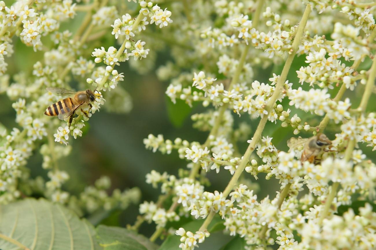 五倍子花期蜂群管理(五倍子花期有多长)