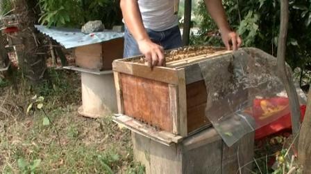 蜜蜂秋繁怎么管理(蜜蜂秋繁管理技术)