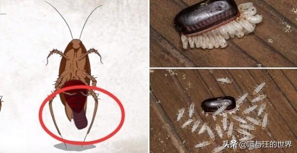 你还敢用脚踩、拖鞋拍打蟑螂?爆浆的后果,有点严重